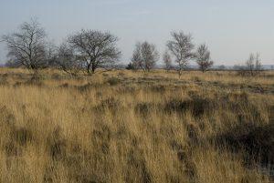 B, Limburg, Meeuwen-Gruitrode, Grote Heide 4, Saxifraga-Jan van der Straaten